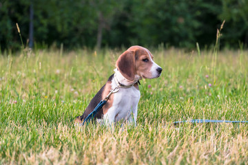 Portrait of a smart puppy, looking into the distance attentively. Beagle puppy on a walk in a serene summer evening.