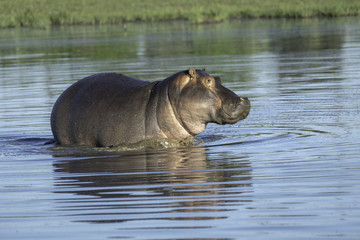 Hippo swimming in a pond