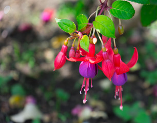 fuchsia magellanica flower, hummingbird fuchsia or hardy fuchsia, Hanging fuchsia flowers in shades of pink, purple and white, selective focus
