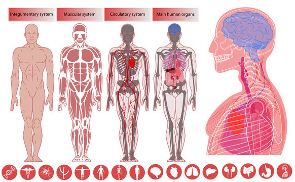 Human body anatomy, Medical Education. Nervous and skeletal systems anatomy and physiology flat educative infographics vector illustration. Human body anatomy, flat style