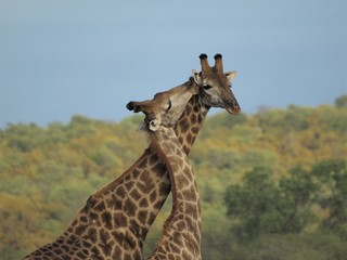 Two giraffes nuzzling