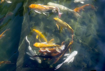 Colorful Carp Swimming in Traditional