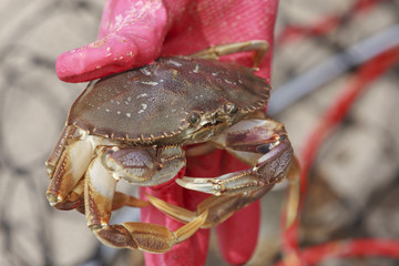 Holding a dungeness crab.