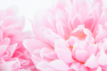 Beautiful pink flowers made with color filters, soft color and blur style for background