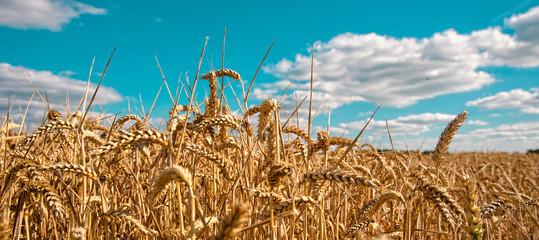 Fotoväggar - ripe cereals on the big field just before harvesting