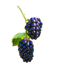 blackberry berries close-up isolated on white background