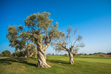 group of old olive trees