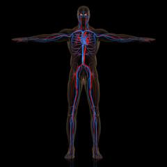 人体血管網