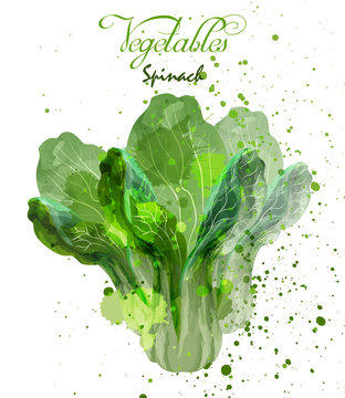 Spinach salad leaves watercolor Vector. Delicious colorful designs