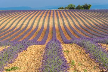 Lavender field in Valensole Plateau, Provence, France