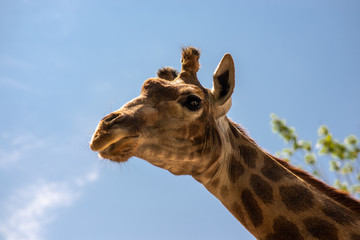 the head of a giraffe on the background of sky and greenery