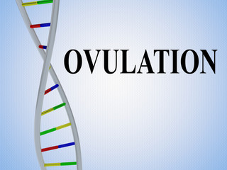 OVULATION - biological concept