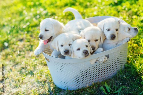 Six Small White Puppies Are Sitting In A Basket In The
