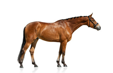 Purebred horse standing isolated