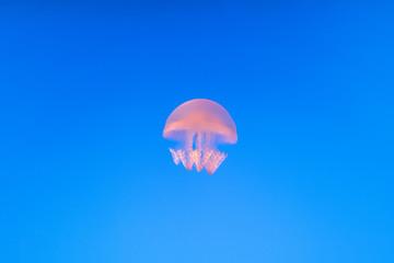 jellyfish in the aquarium