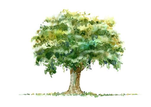 Oak.Deciduous tree.Watercolor hand drawn illustration.White background.