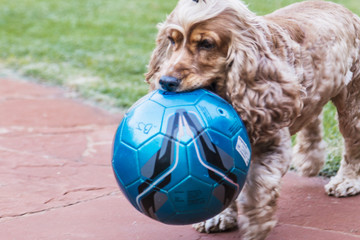 Cachorro segurando bola azul