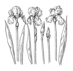 Iris flower and leaves drawing. Vector hand drawn engraved flora