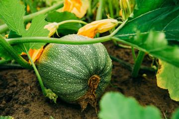 Ripe Green Zucchini Or Courgette In Summer Garden