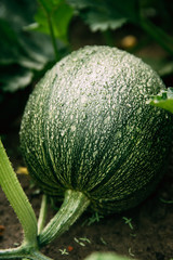Close Up Of Ripe Green Zucchini Or Courgette In Summer Garden.
