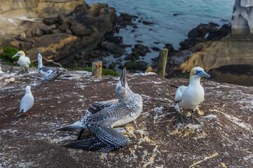 The Australian gannet feeds the nestling