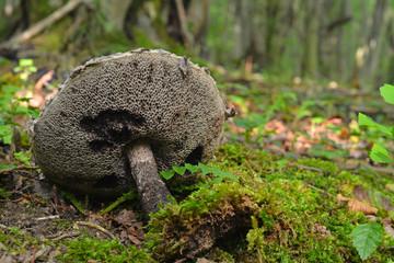 Stromilomyces strobilaceus mushroom