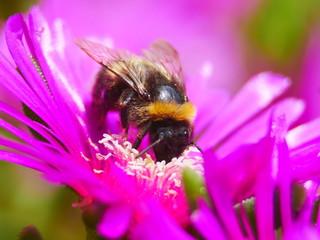 Macro abeille
