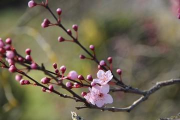 Papiers peints Fleur de cerisier Fleurs de prunus au printemps