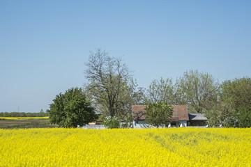 Field of Rapeseed in Full Bloom