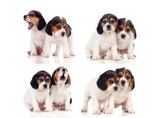 Eight beautiful beagle puppies