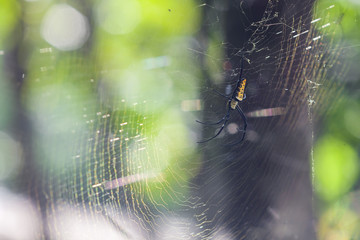 Golden Silk Orb-Weaver Spider (Nephila Pilipes) on the Web