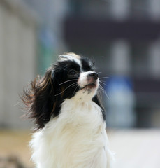 Portrait of a falen close-up. A dog with hanging ears on a blurred background. Cute puppy posing in profile on the street. Continental Toy Spaniel. Vertical image. Free space for text.