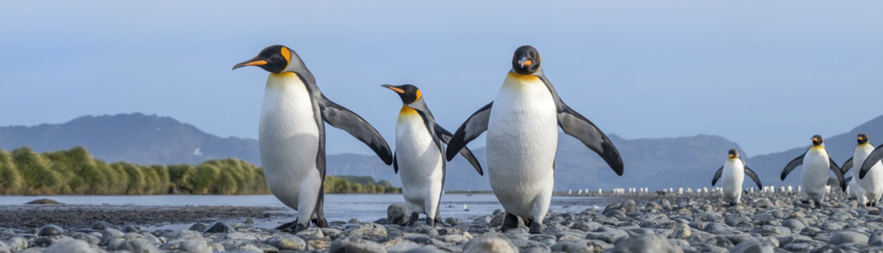 King Penguins, Salisbury Plain, South Georgia Island, Antarctic