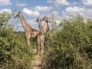 Herd of South African giraffe Giraffa giraffa giraffa, Chobe National Park, Botswana