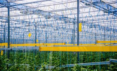 Rows of plants growing inside big industrial greenhouse.