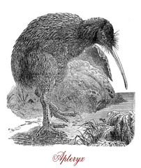 "Vintage engraving of Kiwi or Apterix australis, flightless birds native to New Zealand. The greek-derived name means ""wingless""."