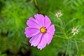 close up pink cosmos with green garden with copy space