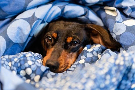 Black dachshund under a blanker