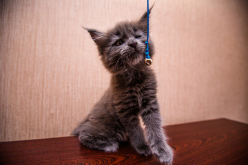 beautiful dark kitten is played Maine Coon