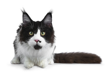 Gorgeous black and white young adult Maine Coon girl  laying down with tail beside body looking curious in lens isolated on white background