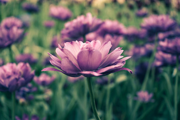 Flowers, Pink Lavender Tulips in garden with blurred green background