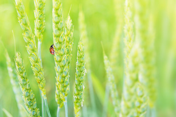 Lady bug on ears of wheat