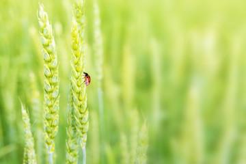 Lady bug on ears of wheat