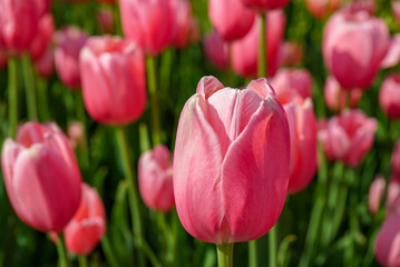 Pink Tulip with many Pink Tulips in Background