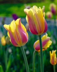 Close-up of Pink and Yellow Tulips with colorful blurred background