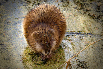 Muskrat eating in a pond on a sunny afternoon