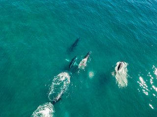 A pod of humpback whales from an aerial view