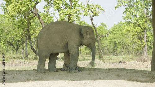 Baby elephant is chained in the farm of national park