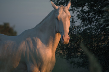 Portrait of a pearl pink Akhalteke horse on the dark trees background on the sunrise in the morning