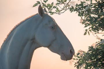 Portrait of a pearl pink Akhalteke horse among flowering trees on the sunrise in the morning